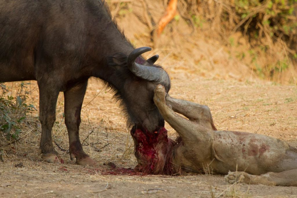 Buffaloes Versus Lions and Tigers