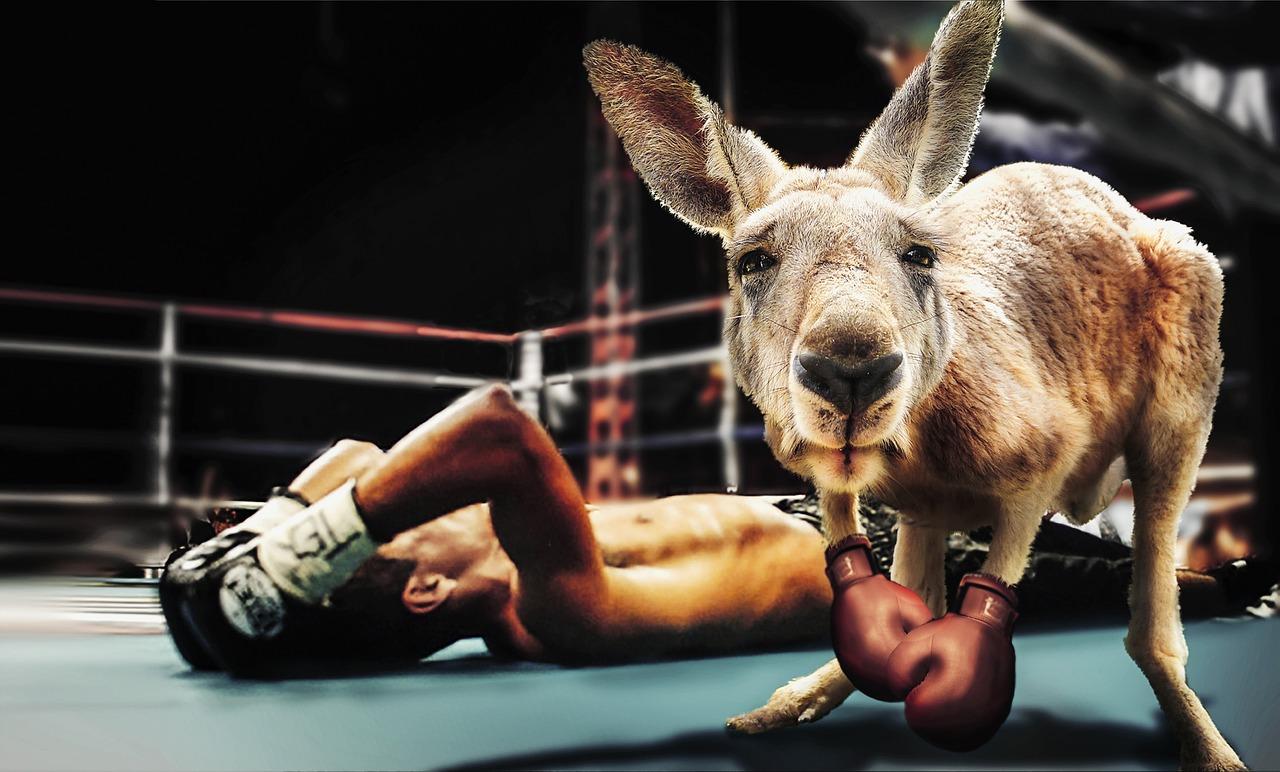 Can Kangaroos Be Taught to Box