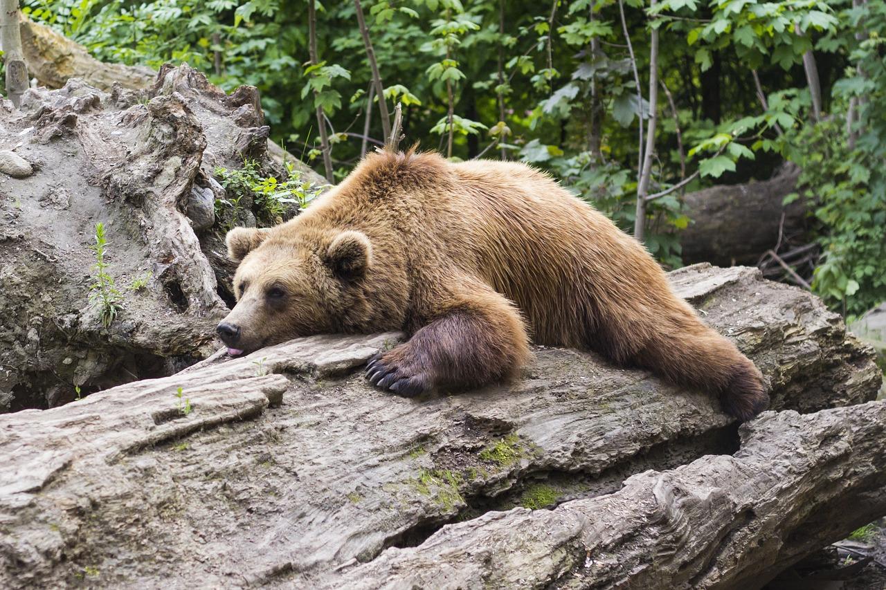 Do Bears Hibernate