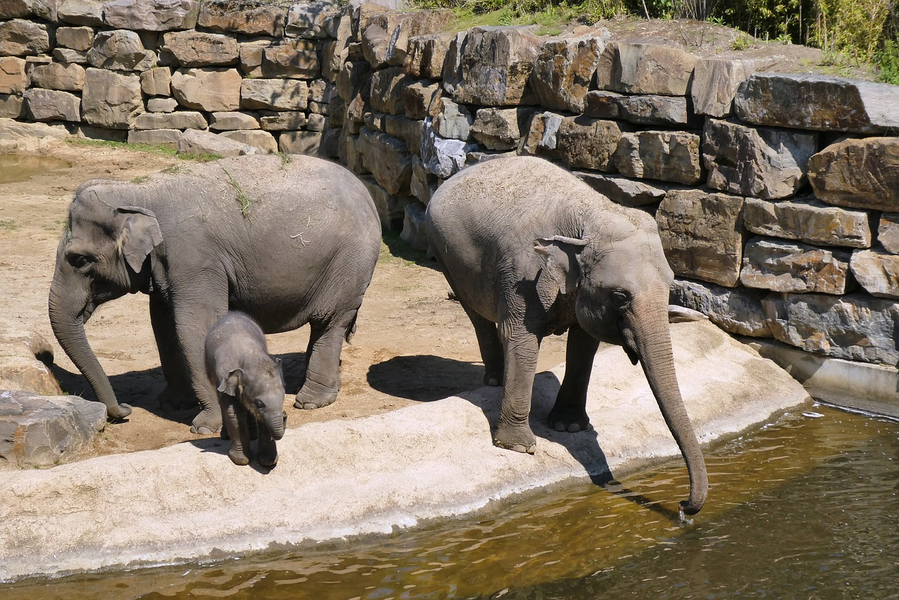Do Elephants Drink Through Their Trunks