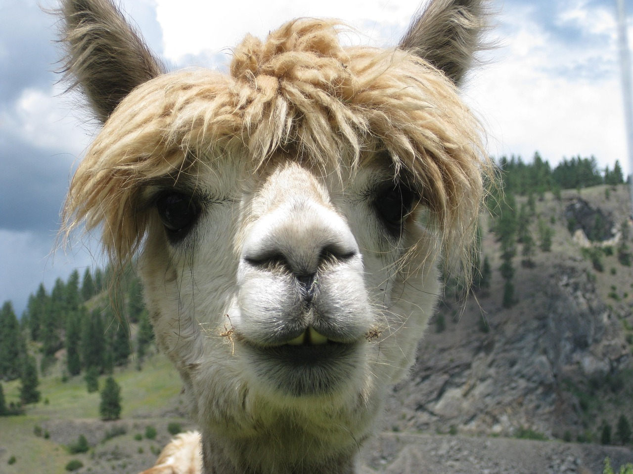 Do Llamas Really Spit