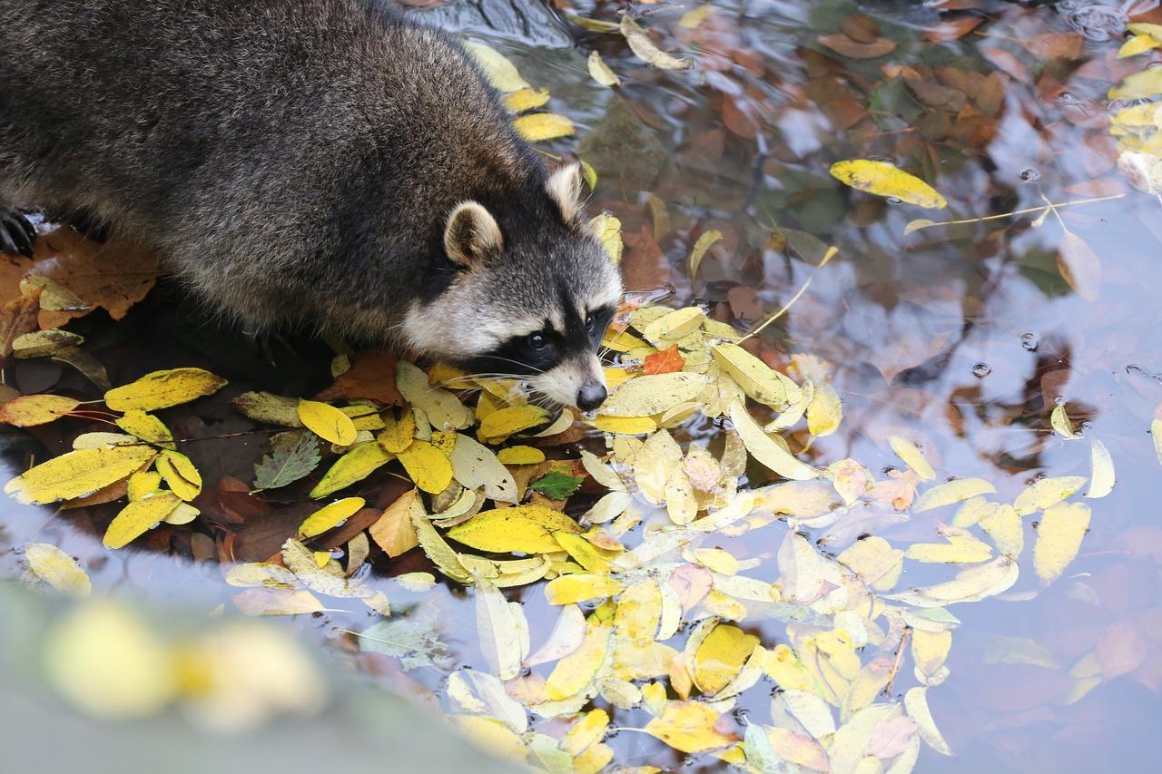 Do Raccoons Wash Their Food