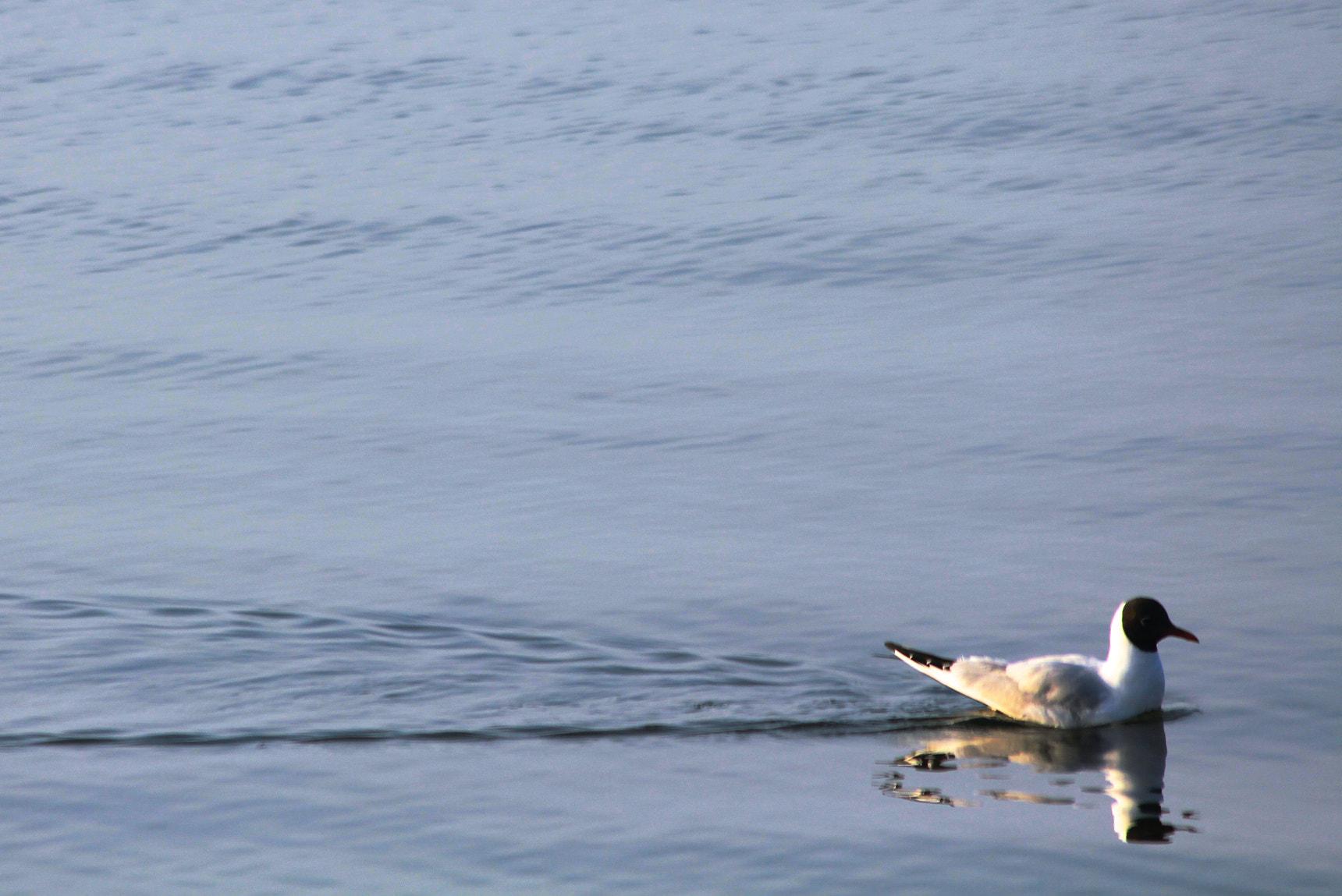 Do Sea Birds Drink Sea Water