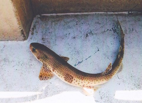 Can you eat Dogfish