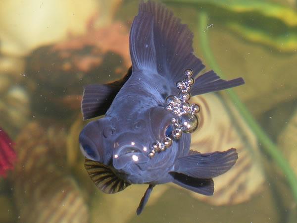Fish That Blow Bubbles