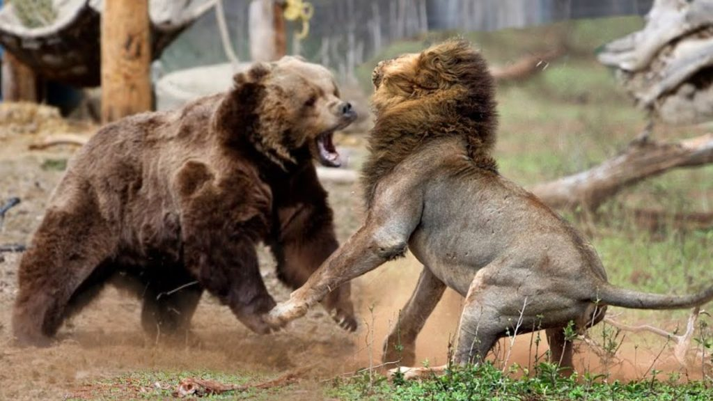 Grizzly Bear Versus Lion
