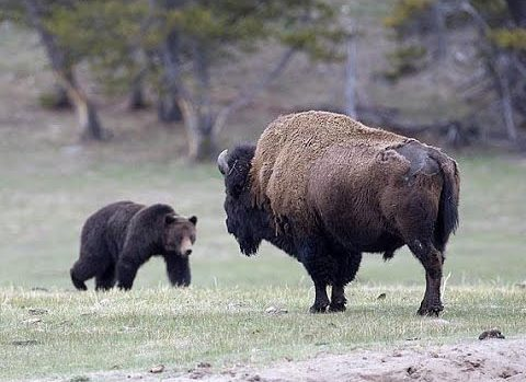 Grizzly Bears Versus Bulls and Bison