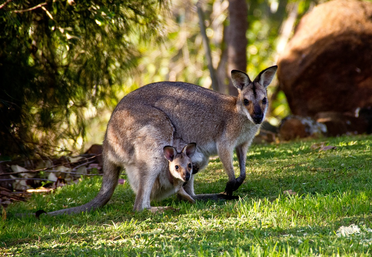 How Are Kangaroos Born