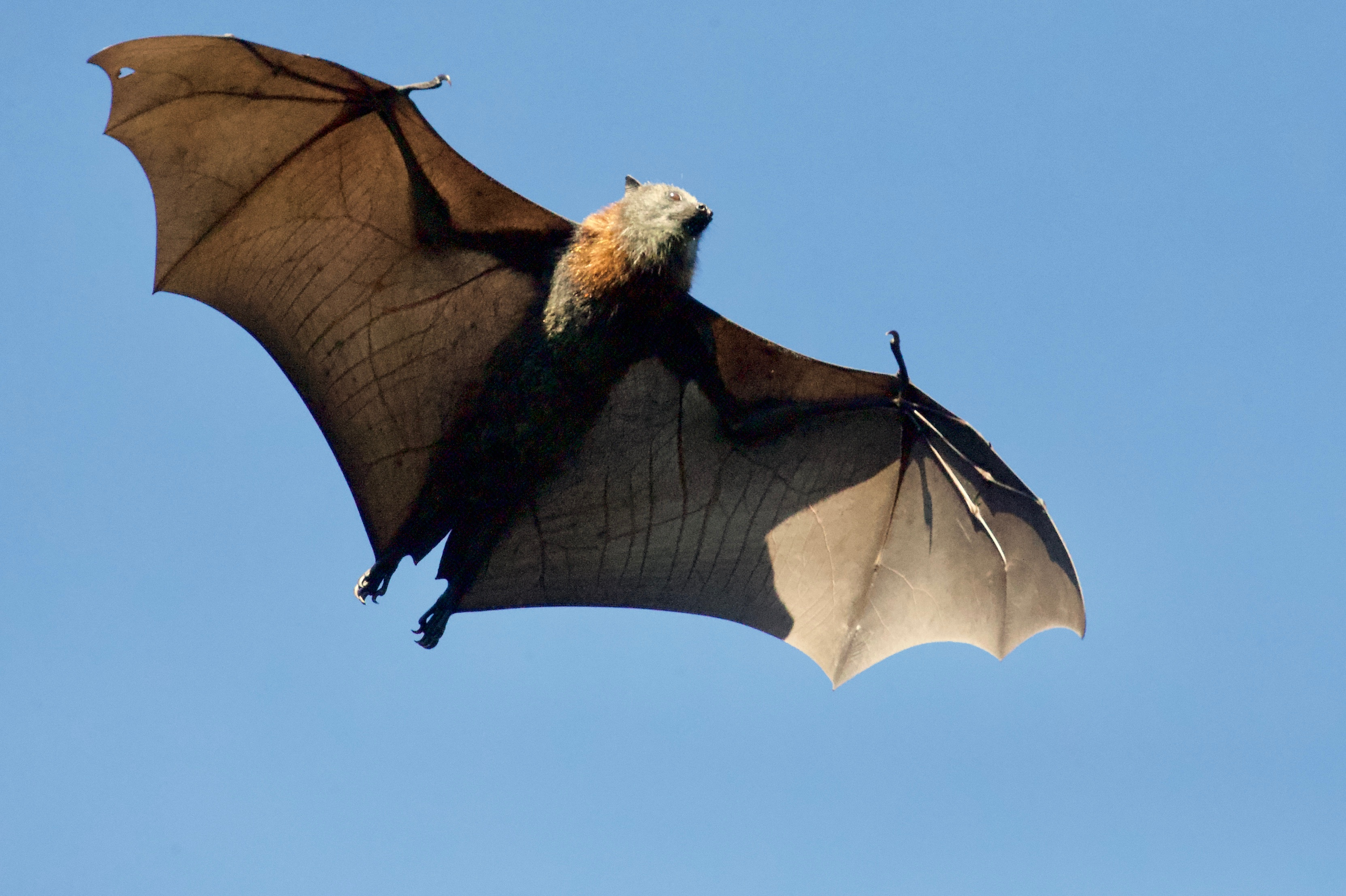 How Bat Echolocation Works
