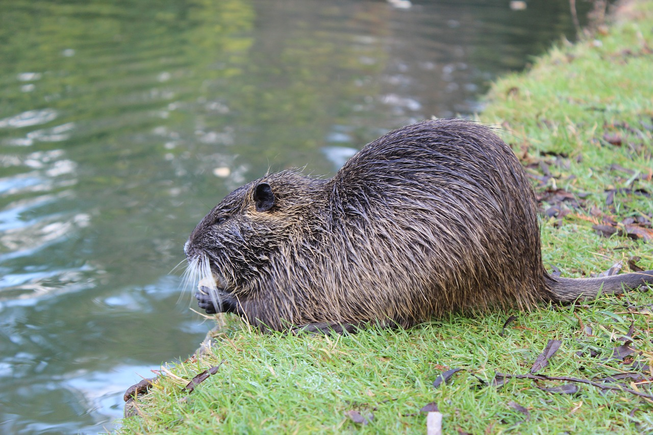 How Does the Beaver Use Its Tail