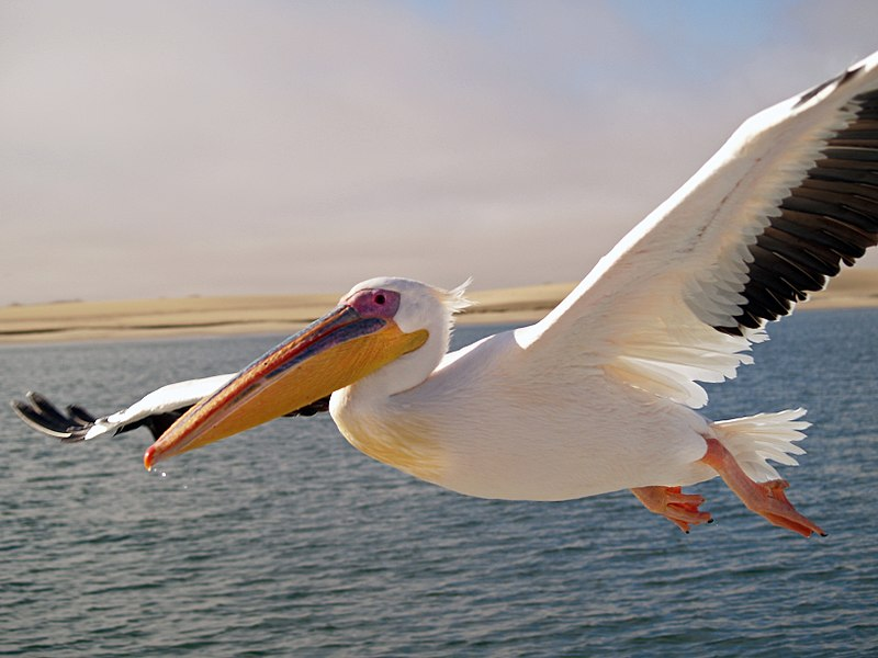 How Does the Pelican Use Its Pouch?