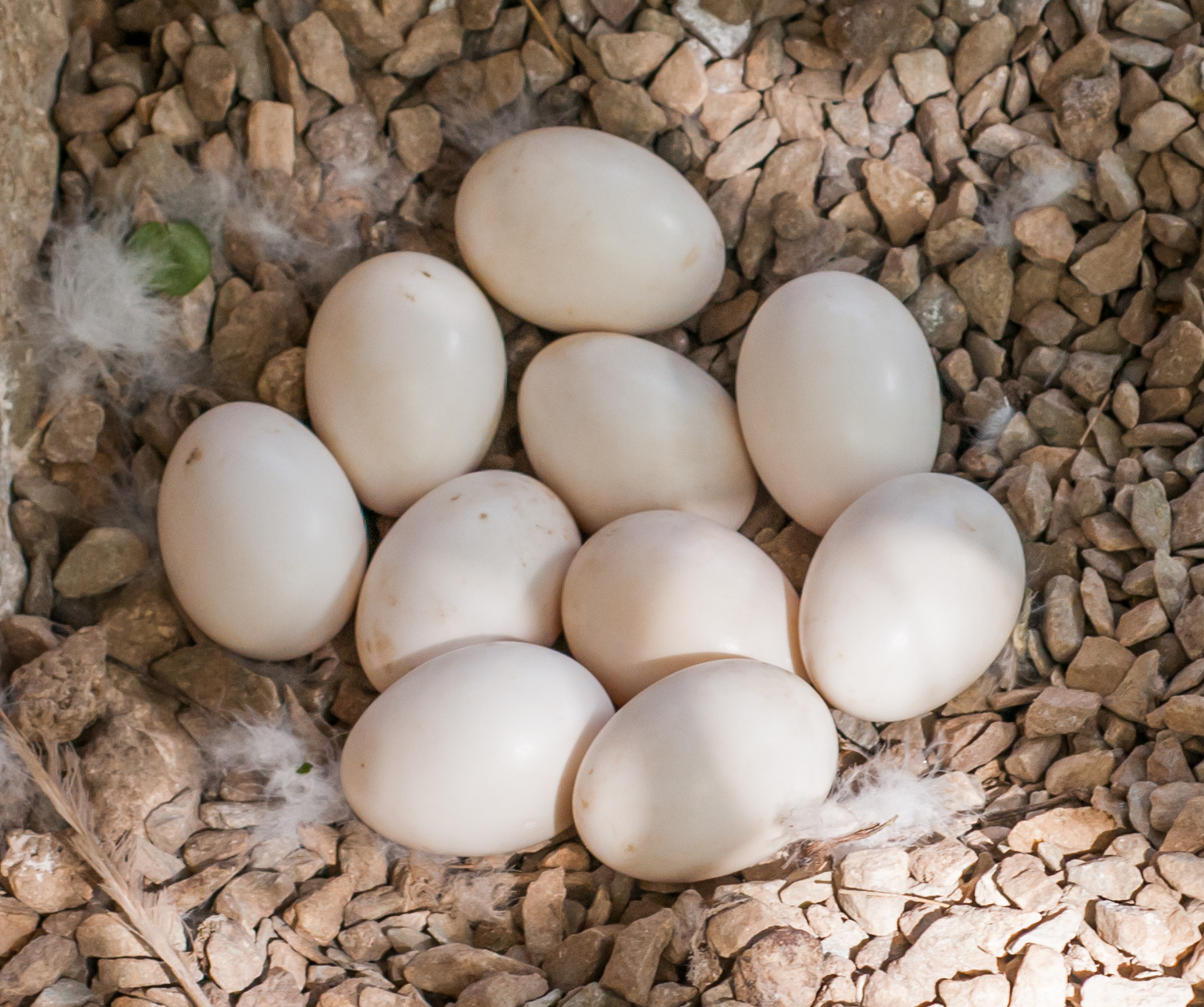 How Many Eggs Can a Duck or Chicken Lay in One Year?