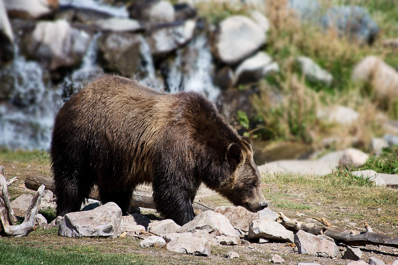 How Much do Grizzly Bears Weigh
