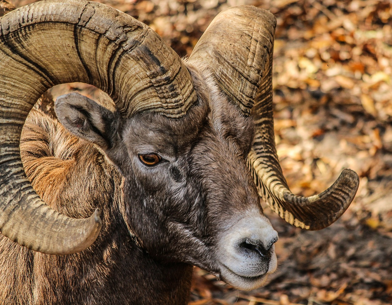 How To Tell The Age Of Bighorn Sheep