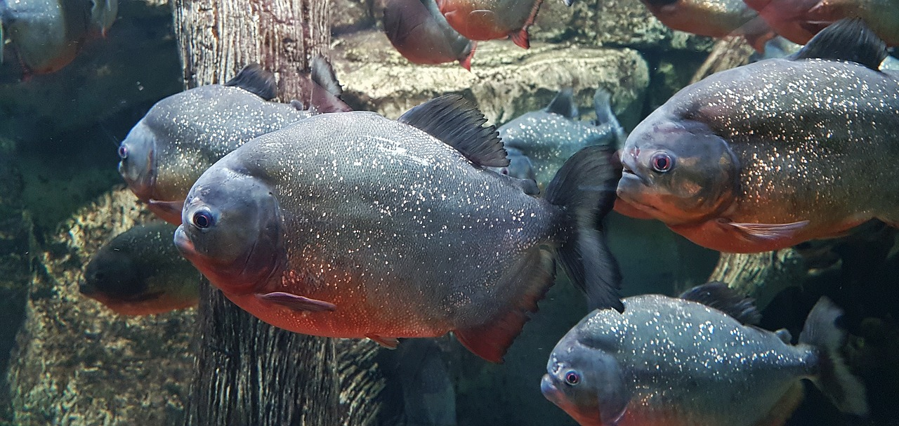 Piranha - Most Dangerous Fish in the World