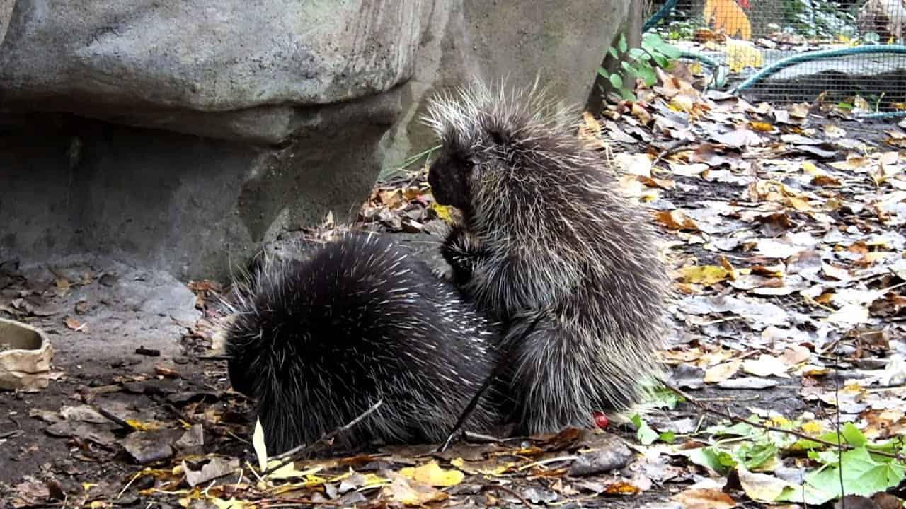 How Do Porcupines Mate