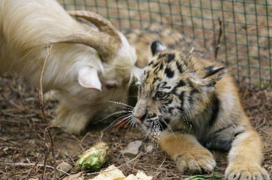Ram Versus Tiger