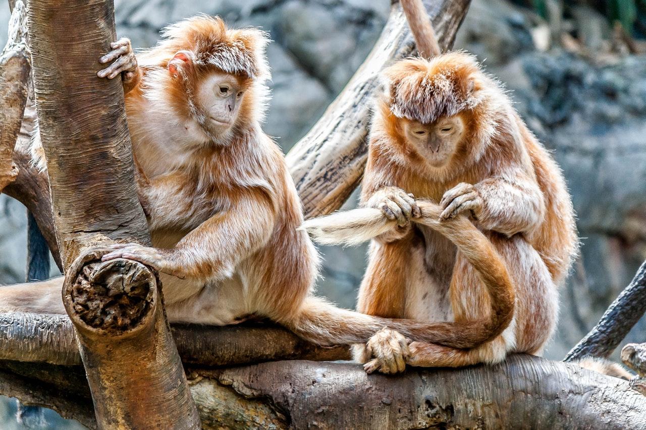 Why do Monkeys Search Their Hair