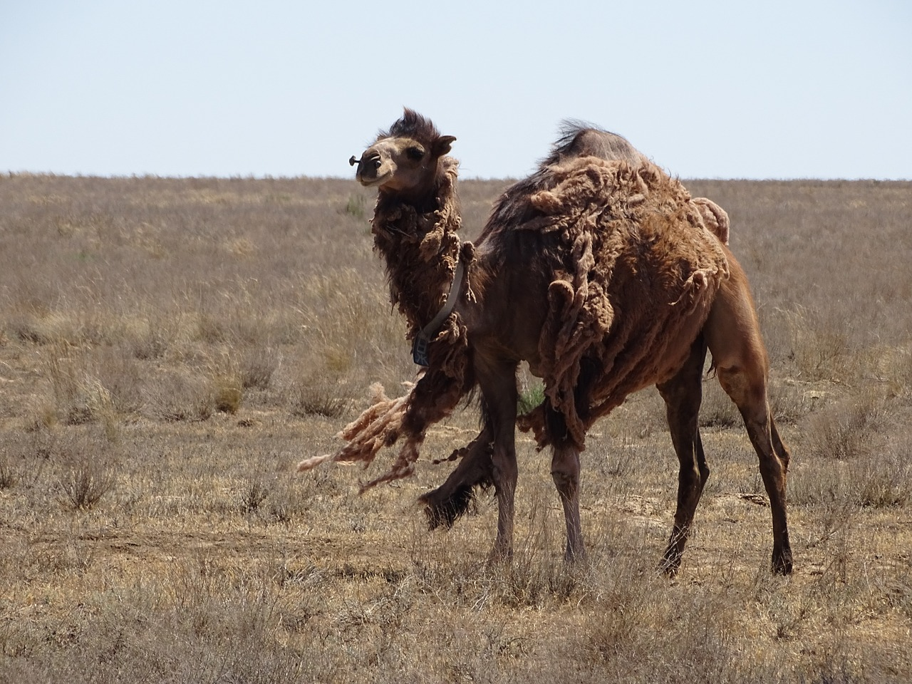 Wild Camels in the United States