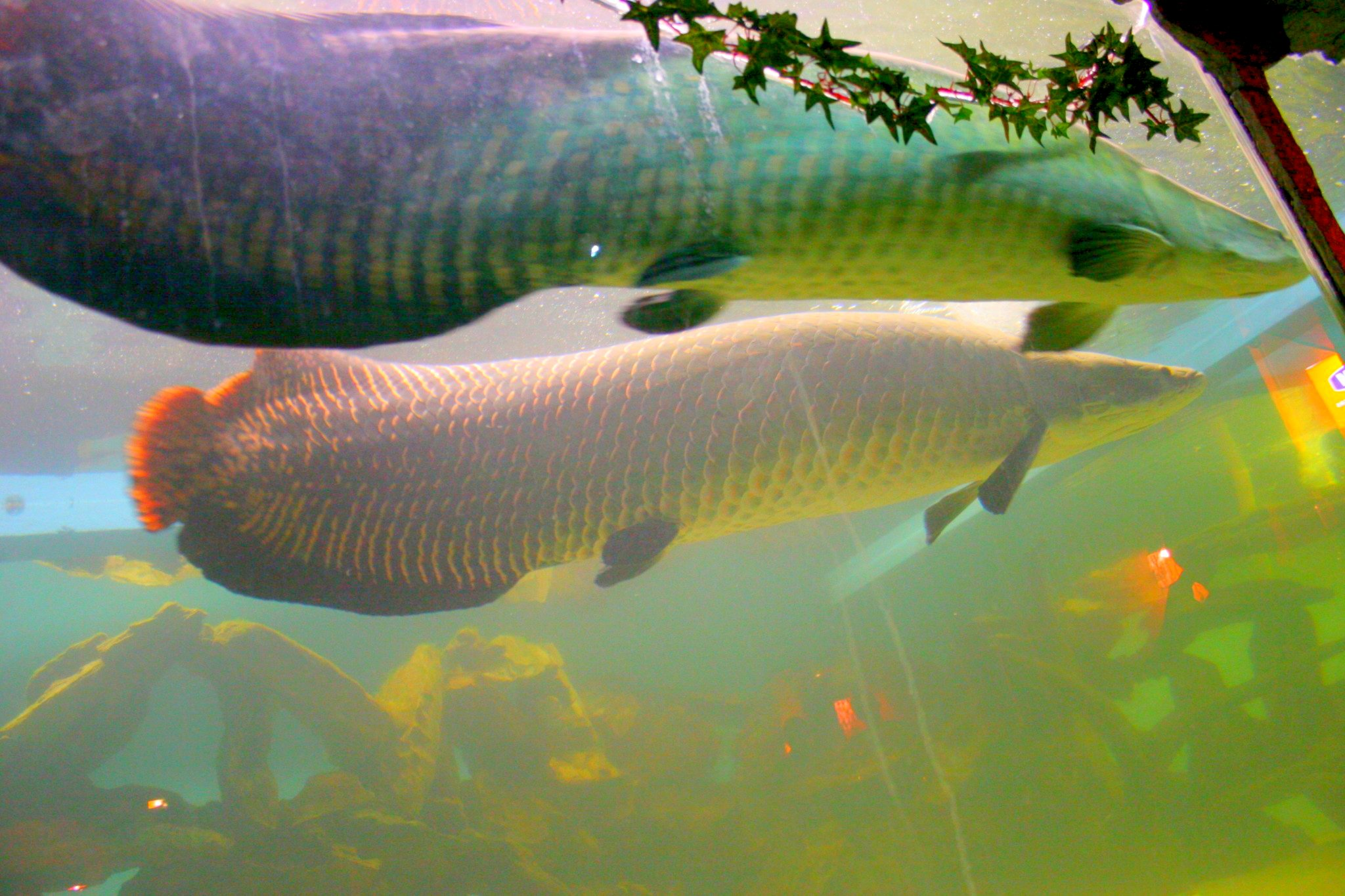 What Is the Largest Freshwater Fish