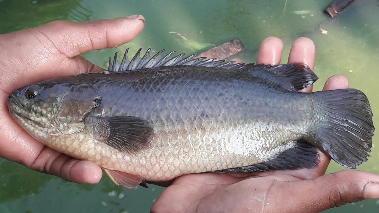 fish that climb trees