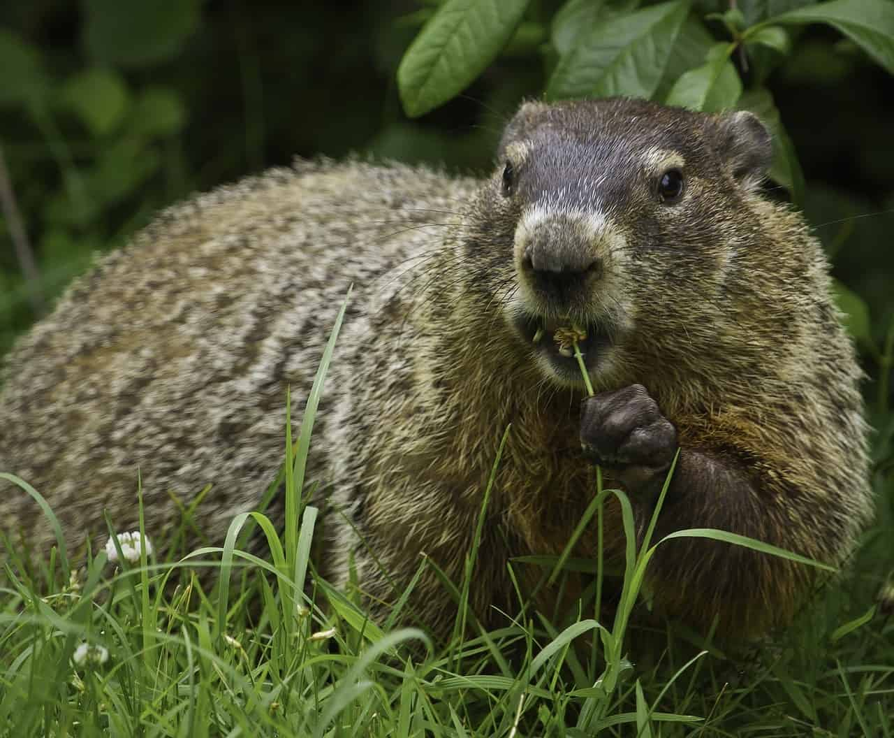 How does a Groundhog Predict the Weather