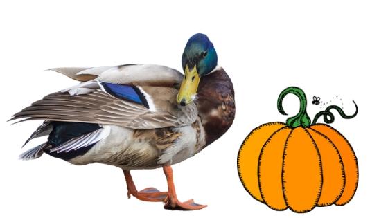 Can Ducks Eat Pumpkin