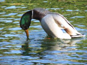 Duck Grunt-Whistle