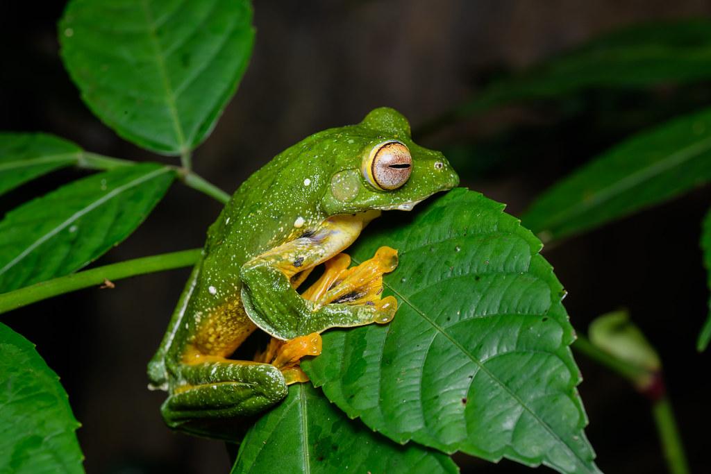 Rhacophorus kio, Kio flying frog