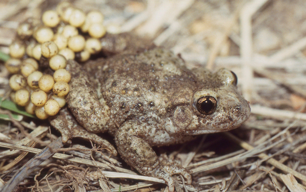 How Did the Midwife Toad Get Its Name?
