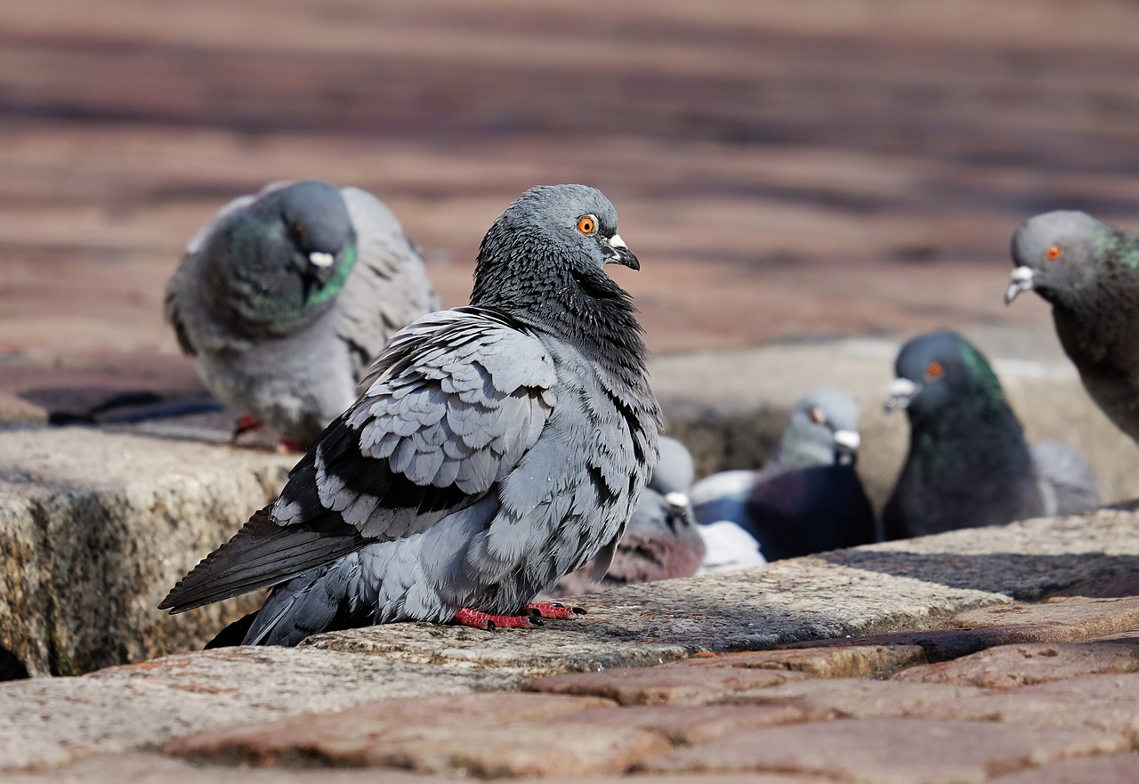 What Do Pigeons Eat