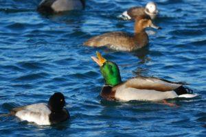 duck head pumping