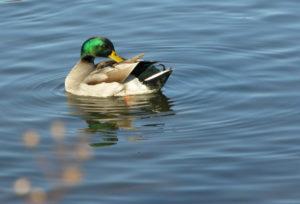 duck preening