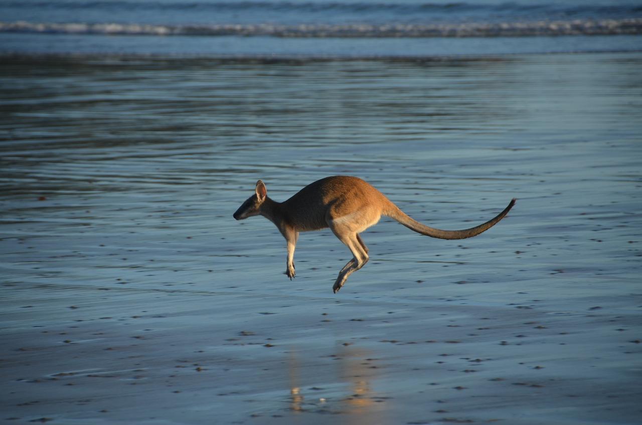Can Kangaroos Swim