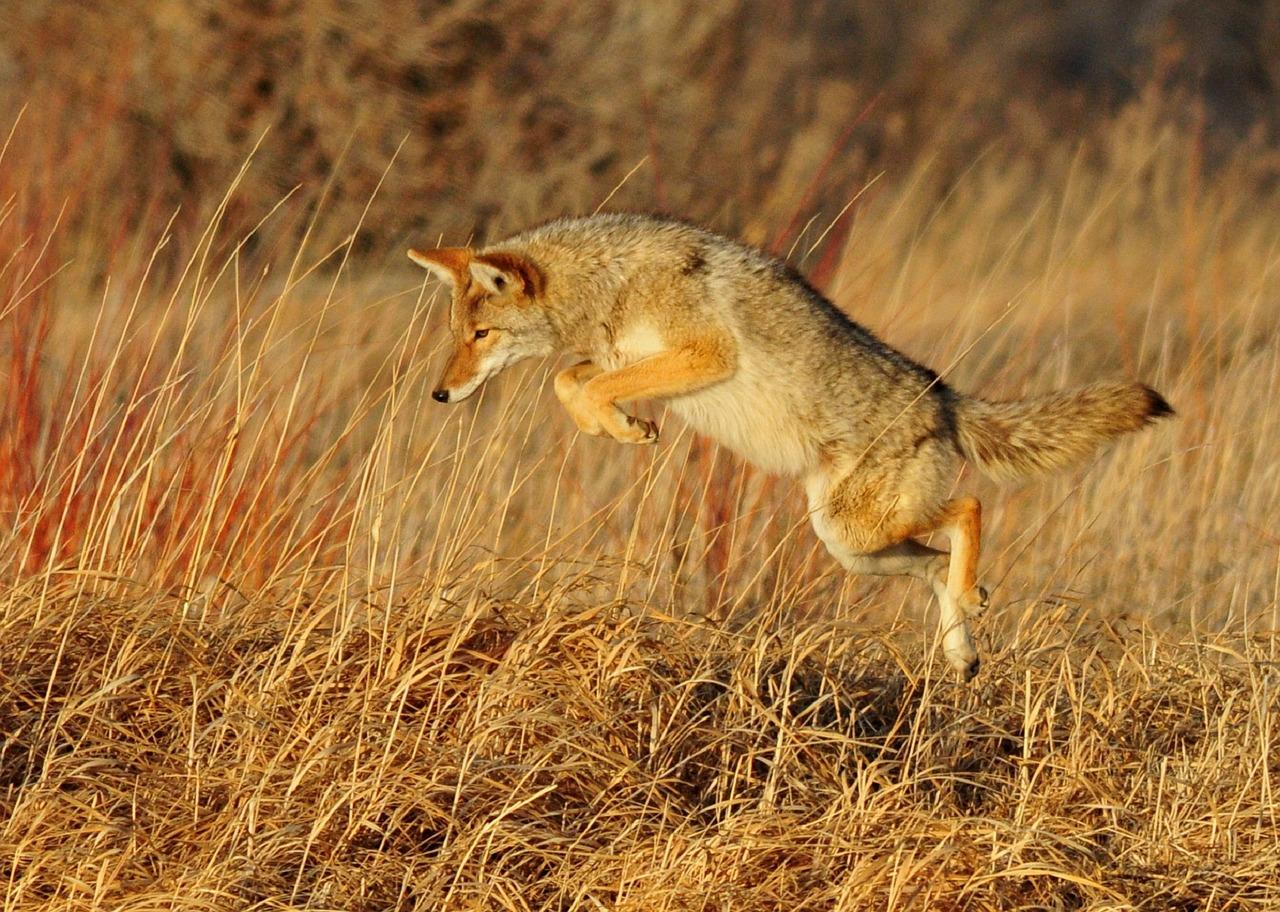 Coyotes, Good Hunters