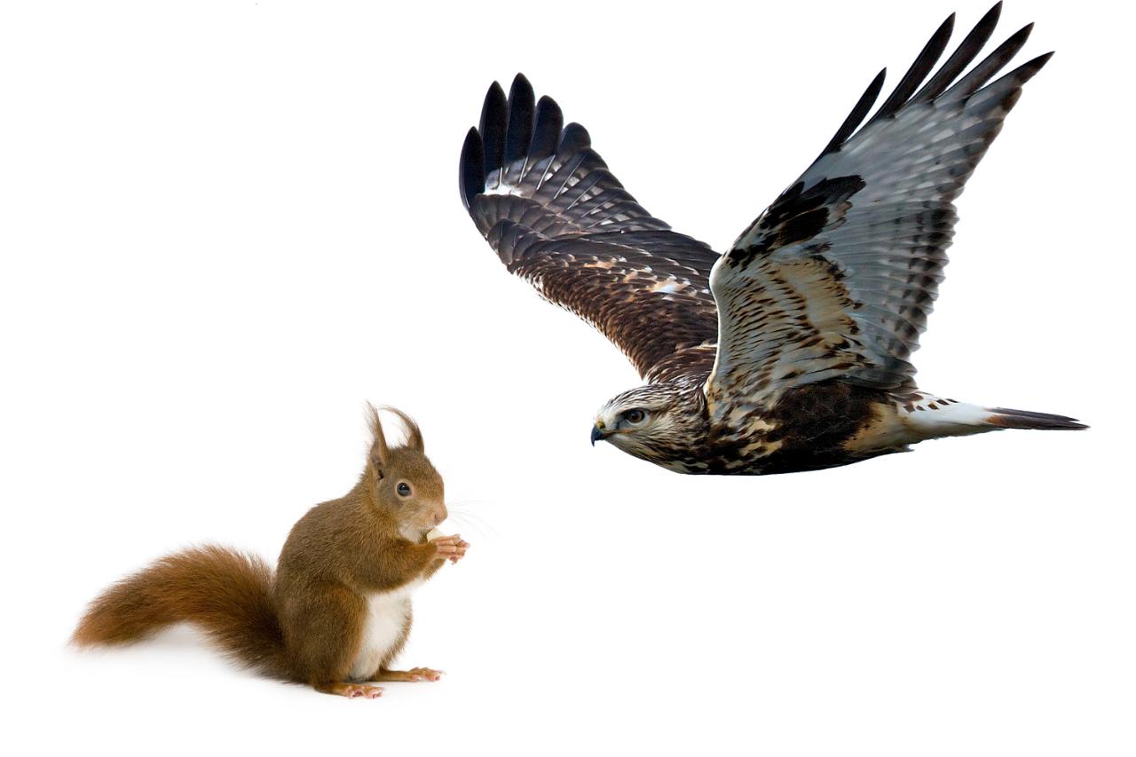 Do Hawks Eat Squirrels