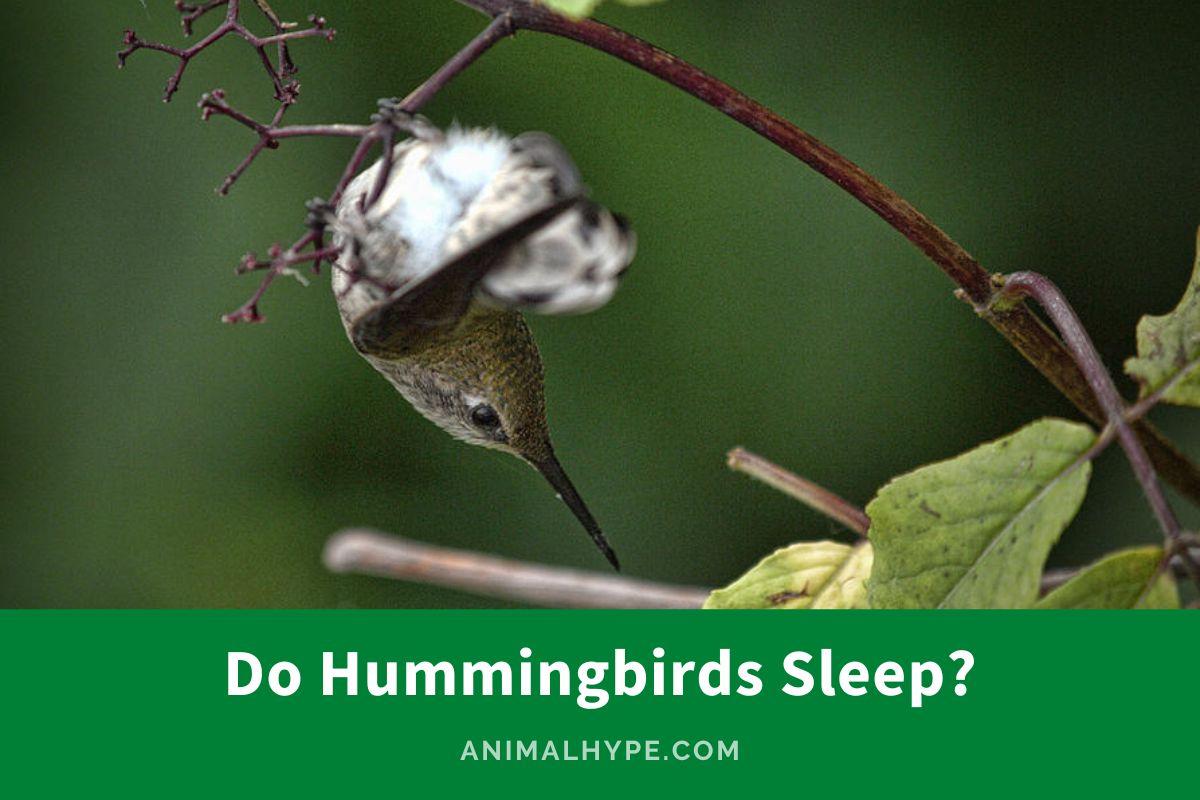 Do Hummingbirds Sleep