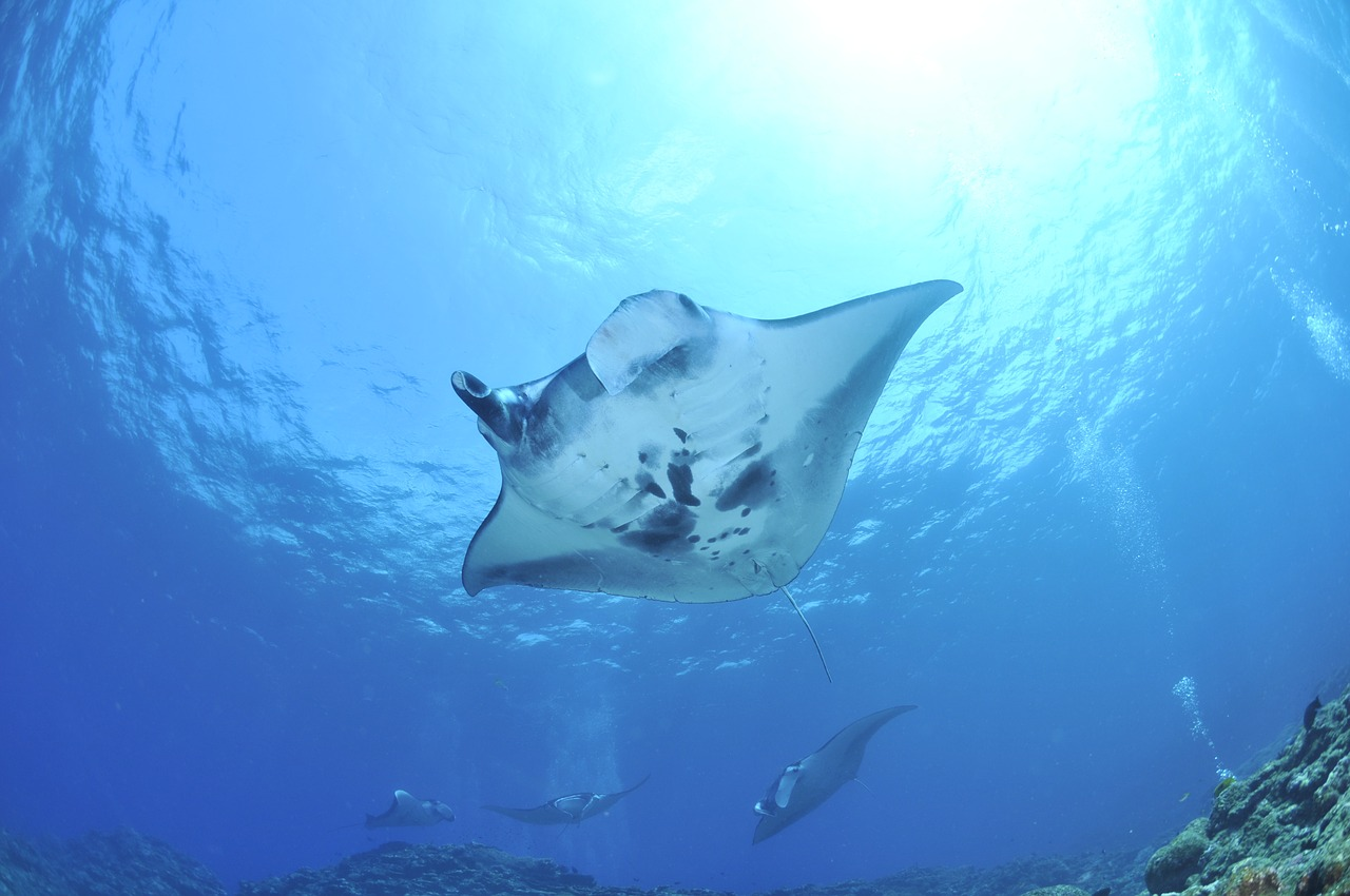 Do Manta Rays Sting