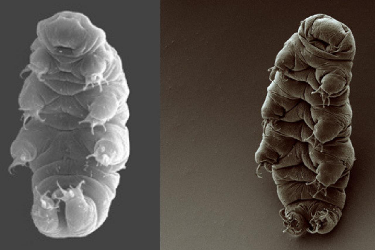 Tardigrades Lifespan