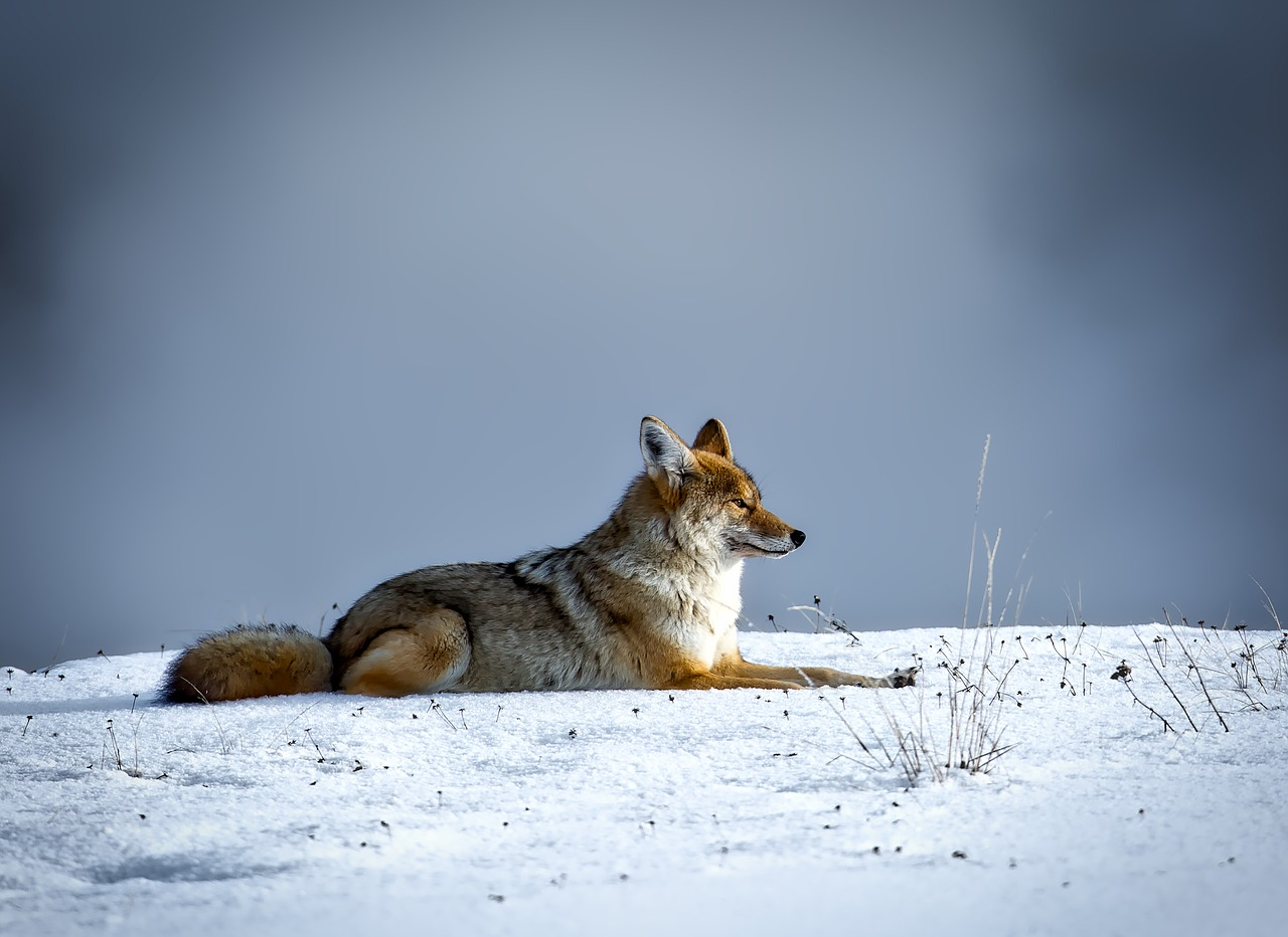 What do Coyotes eat during the winter