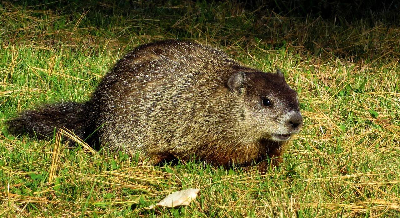 Where Do Groundhogs Live