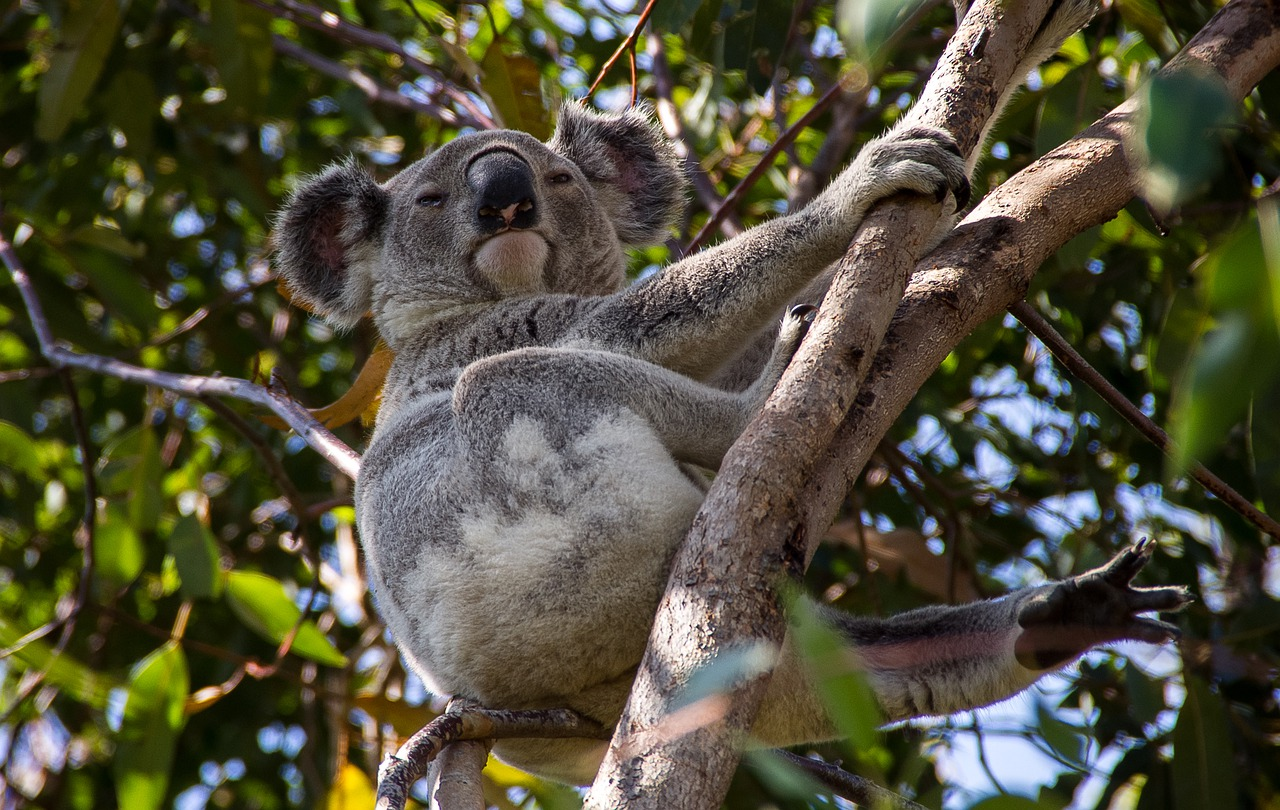 Do Koalas Have Tails