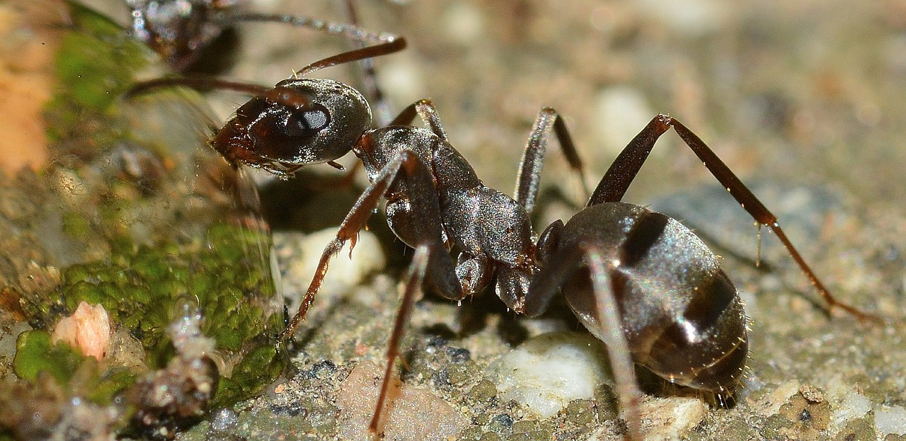 Bullet Ant Facts