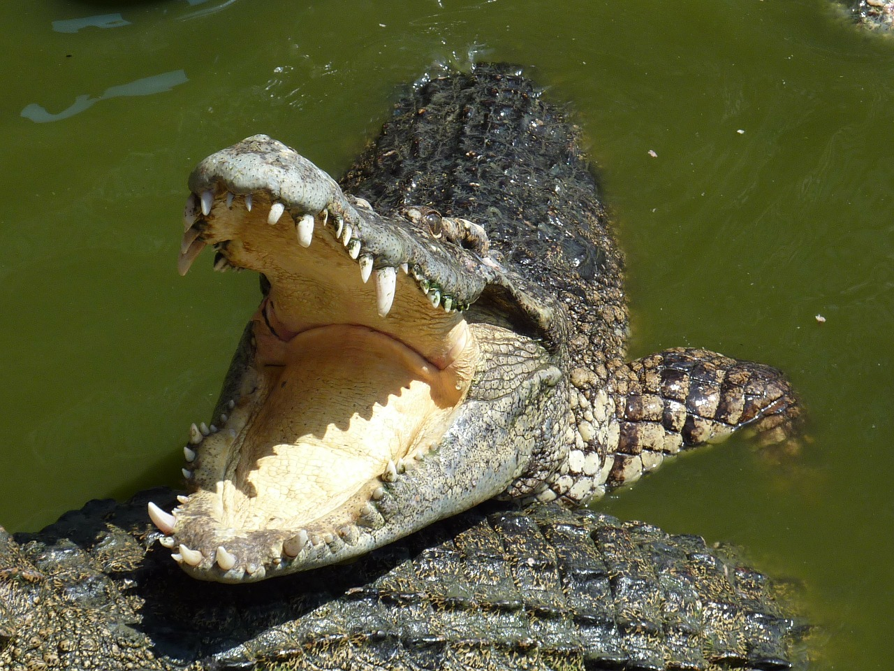 Do Crocodiles Have Tongues