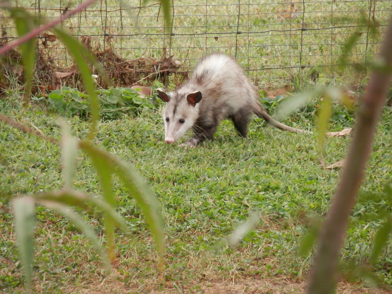 Do Possums Eat Chickens