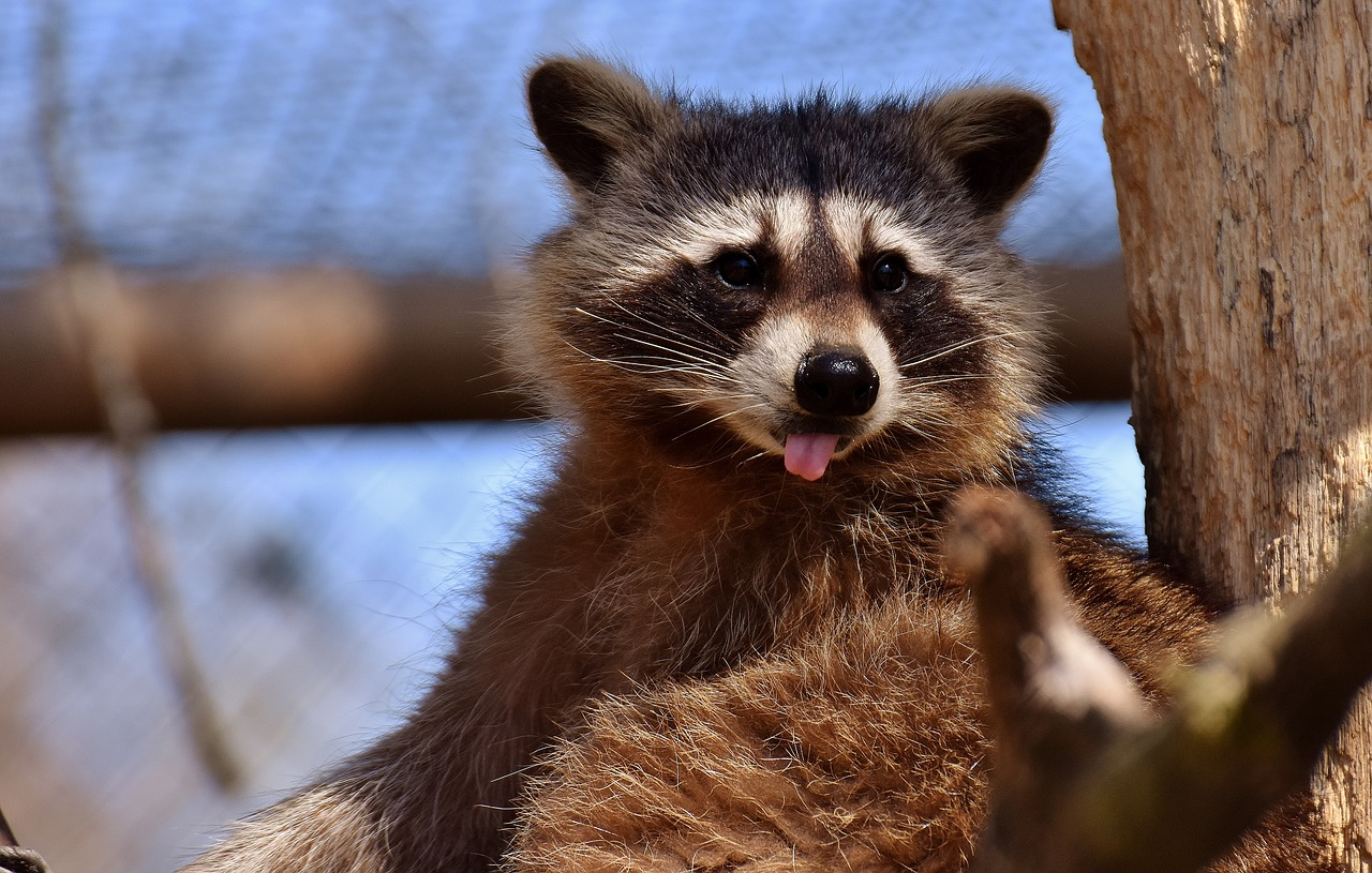 Pet Raccoon Names