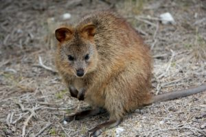 20 Fascinating Facts About Quokkas - Animal Hype