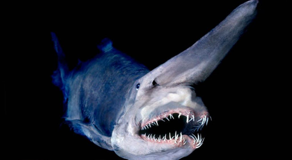 goblin shark facts
