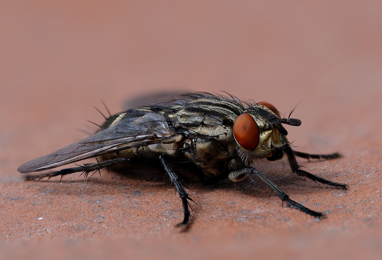 Life Cycle of a Housefly