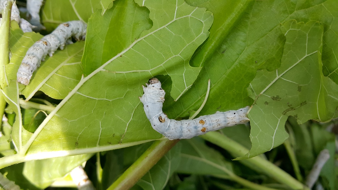Silkworm larva
